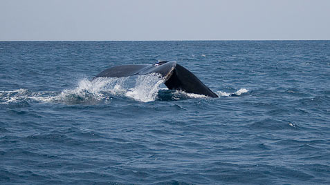 Mollymook Accommodation - Whale migration